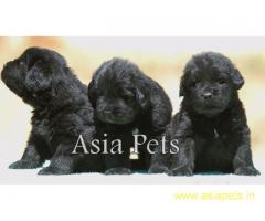 Newfoundland puppy price in goa ,Newfoundland puppy for sale in goa