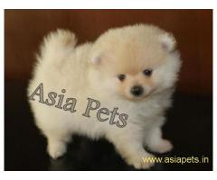 Pomeranian puppy price in goa ,Pomeranian puppy for sale in goa