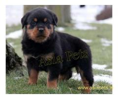 Rottweiler puppy price in goa ,Rottweiler puppy for sale in goa