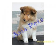Rough collie puppy price in goa ,Rough collie puppy for sale in goa
