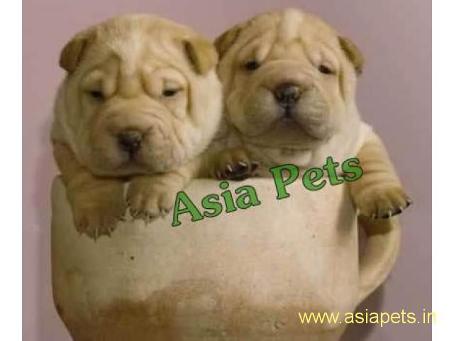 Shar pei puppy price in goa ,Shar pei puppy for sale in goa