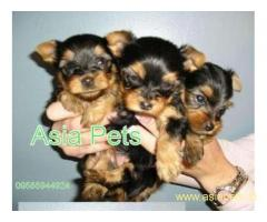 Yorkshire terrier puppy price in goa ,Yorkshire terrier puppy for sale in goa