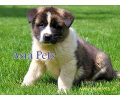 Akita pups  price in goa  Akita pups  for sale in goa