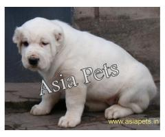 Alabai pups  price in goa ,Alabai pups  for sale in goa