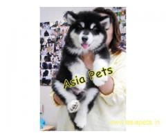 Alaskan malamute pups  price in goa ,Alaskan malamute pups  for sale in goa