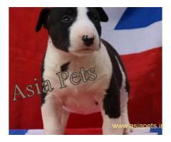 Bullterrier pups  price in goa ,Bullterrier pups  for sale in goa