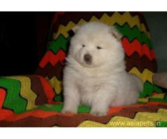 Chow chow pups  price in goa ,Chow chow pups  for sale in goa