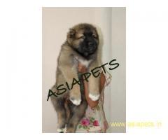 Cane corso pups  price in goa ,Cane corso pups  for sale in goa