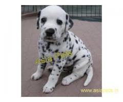 Dalmatian pups  price in goa ,Dalmatian pups  for sale in goa