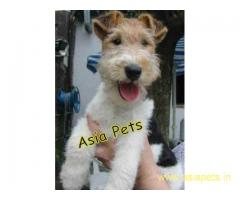 Fox Terrier pups  price in goa  Fox Terrier pups  for sale in goa