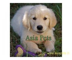 Golden retriever pups  for sale in goa ,Golden retriever pups  for sale in goa