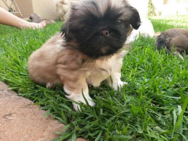 Lhasa apso pups  price in goa ,Lhasa apso pups  for sale in goa