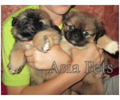 Lhasa apso puppy price in guwahati, Lhasa apso puppy for sale in guwahati
