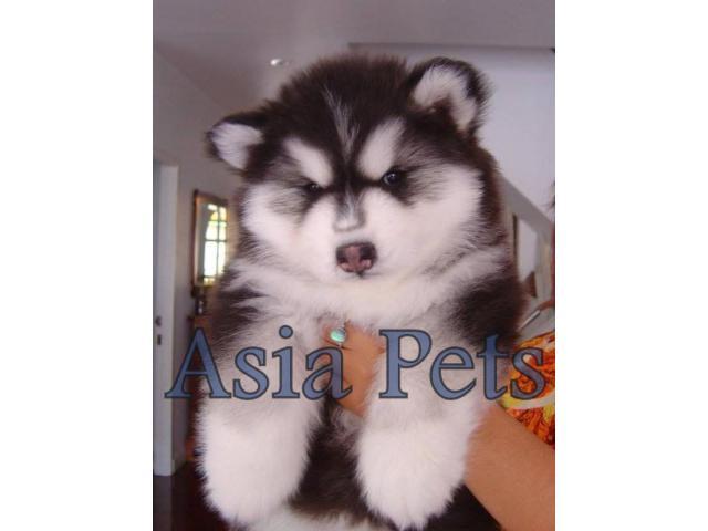 Alaskan malamute puppy price in hyderabad, Alaskan malamute puppy for sale in hyderabad