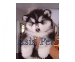Alaskan malamute puppy price in hyderabad, Alaskan malamute puppy for sale in hyderabad