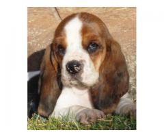 Basset hound puppy price in hyderabad, Basset hound puppy for sale in hyderabad