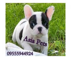 French Bulldog puppy price in hyderabad, French Bulldog puppy for sale in hyderabad