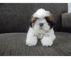 Shih tzu puppy price in hyderabad, Shih tzu puppy for sale in hyderabad