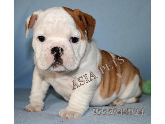 Bulldog puppy price in indore, Bulldog puppy for sale in indore