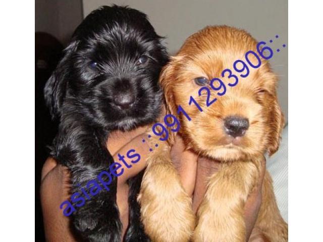 Cocker spaniel puppy price in indore, Cocker spaniel puppy for sale in indore