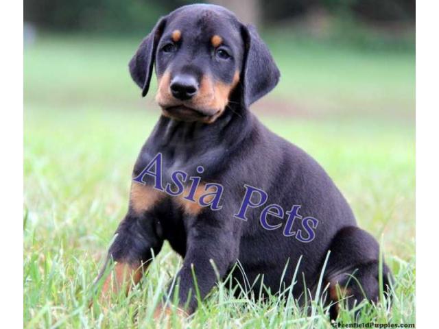 Doberman puppy price in indore, Doberman puppy for sale in indore