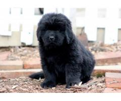 Newfoundland puppy price in indore, Newfoundland puppy for sale in indore