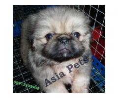 Pekingese puppy price in indore, Pekingese puppy for sale in indore