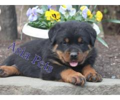 Rottweiler puppy price in indore, Rottweiler puppy for sale in indore