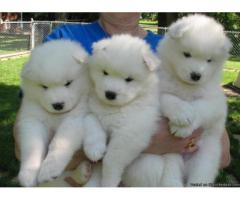 Samoyed puppy price in indore, Samoyed puppy for sale in indore