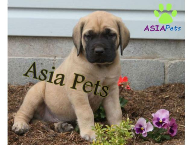 English Mastiff puppy price in jaipur , English Mastiff puppy for sale in jaipur