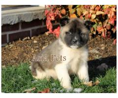 Akita puppy price in ranchi, Akita puppy for sale in ranchi