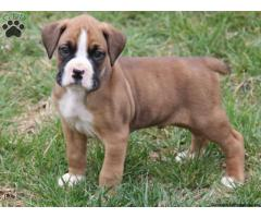 Boxer puppy price in ranchi, Boxer puppy for sale in ranchi