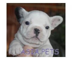French Bulldog puppy price in ranchi, French Bulldog puppy for sale in ranchi