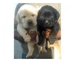 Labrador puppy price in jodhpur, Labrador puppy for sale in jodhpur