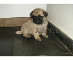 Pug puppy price in jodhpur, Pug puppy for sale in jodhpur