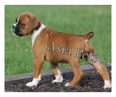 Boxer puppy price in kanpur, Boxer puppy for sale in kanpur