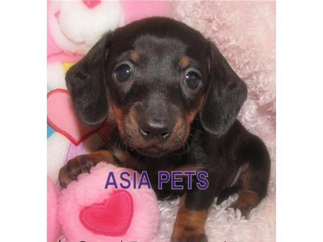 Dachshund puppy price in kanpur, Dachshund puppy for sale in kanpur