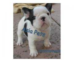 French Bulldog puppy price in kanpur, French Bulldog puppy for sale in kanpur