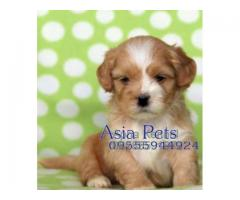 Lhasa apso puppy price in kanpur, Lhasa apso puppy for sale in kanpur