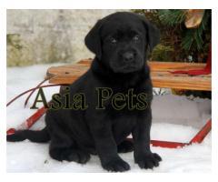 Labrador puppy price in kanpur, Labrador puppy for sale in kanpur