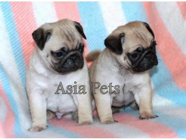 Pug Puppy Price In Kanpur Pug Puppy For Sale In Kanpur