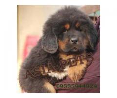 Tibetan mastiff puppy price in kanpur, Tibetan mastiff puppy for sale in kanpur