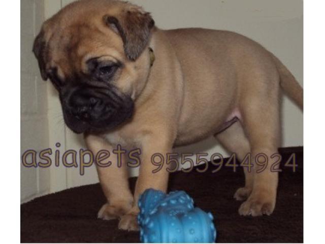 Bullmastiff puppy price in kochi, Bullmastiff puppy for sale in kochi