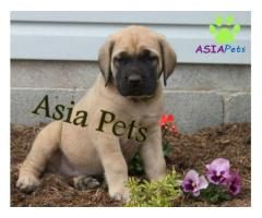 English Mastiff puppy price in kochi, English Mastiff puppy for sale in kochi