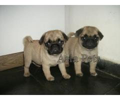 Pug puppy price in kochi, Pug puppy for sale in kochi