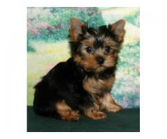 Yorkshire terrier puppy price in kochi, Yorkshire terrier puppy for sale in kochi