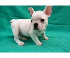 French Bulldog puppy price in kolkata, French Bulldog puppy for sale in kolkata