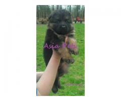 German Shepherd puppy price in kolkata, German Shepherd puppy for sale in kolkata
