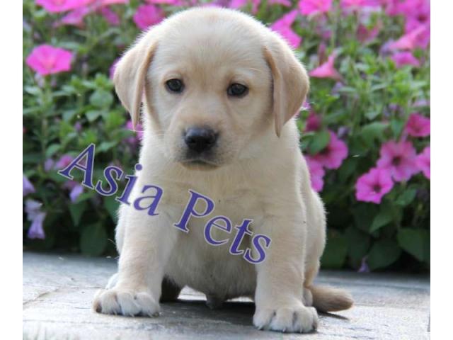 Labrador Puppy Price In Kolkata Labrador Puppy For Sale In Kolkata