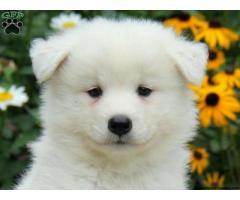 Samoyed puppy price in kolkata, Samoyed puppy for sale in kolkata